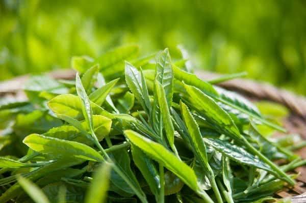 Chữa ra mồ hôi chân tay bằng trà xanh