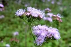 Bài thuốc chữa viêm xoang từ hoa ngũ sắc