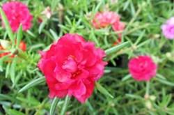 Chữa bỏng bằng hoa mười giờ
