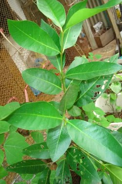 Bài thuốc chữa bệnh từ cây lá vối
