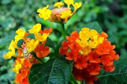 Bài thuốc chữa bệnh từ cây hoa ngũ sắc
