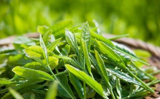 Bài thuốc chữa bệnh từ trà xanh