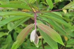 Bài thuốc chữa bệnh từ cây cúc lương