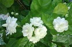 Tác dụng của hoa nhài