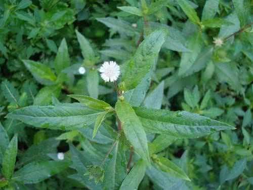 Các loại thảo dược giúp hạ sốt hiệu quả