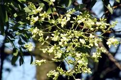 Bài thuốc từ hoa hòe