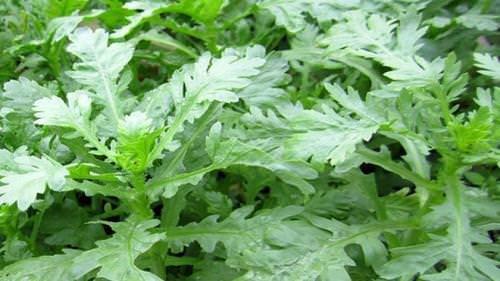 Các loại rau xanh tốt cho người bị cao huyết áp