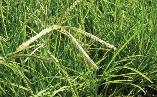 Tác dụng của cỏ mần trầu