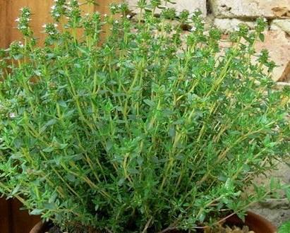 Xạ hương - Loài cây thuốc quý