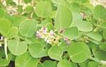 Bài thuốc quý chữa bệnh về gan, mật