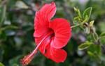 Bài thuốc chữa bệnh từ cây hoa dâm bụt