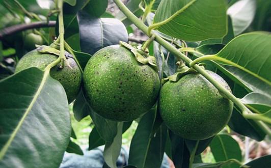 Tác dụng chữa bệnh của cây mắc nưa