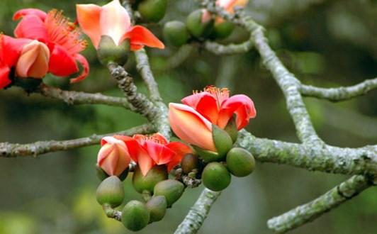Bài thuốc từ cây hoa gạo