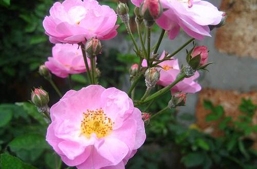 Tác dụng của cây hoa tầm xuân