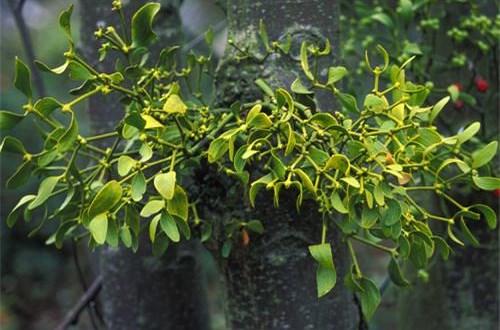 Tác dụng chữa bệnh không ngờ từ cây tầm gửi