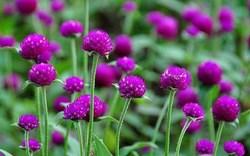 Chữa hen phế quản hiệu quả nhờ hoa cúc bách nhật