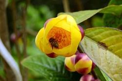 Công dụng của trà hoa vàng