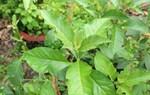 Tác dụng của cây mật gấu, cây lá đắng