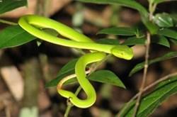 Bị rắn lục đuôi đỏ cắn sơ cứu thế nào?
