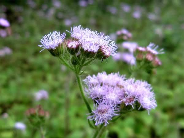 Hoa ngũ sắc, hoa cứt lợn, bài thuốc chữa viêm xoang
