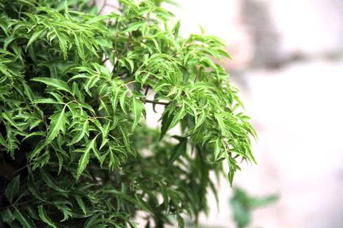 cây đinh lăng, tác dụng của cây đinh lăng