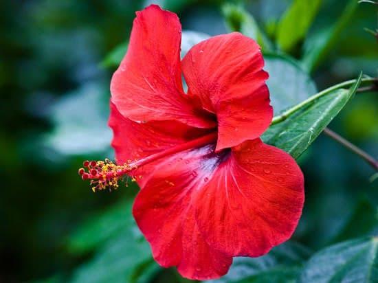 Hoa dâm bụt, chữa sỏi thận bằng hoa dâm bụt
