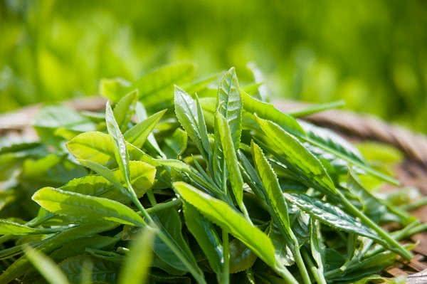 Trà xanh, lá trà xanh, tác dụng của trà xanh