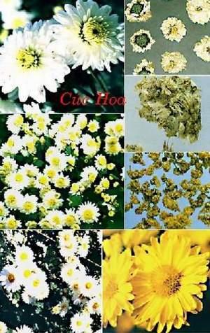 Cúc hoa trị viêm phế quản