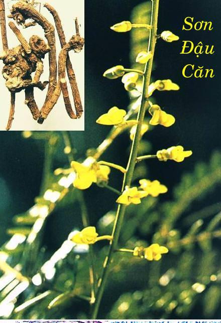 Sơn đậu căn trị viêm amidan