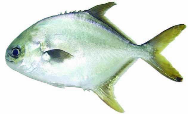 cá chim vây vàng