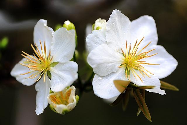 Hoa mai trắng chữa mất ngủ