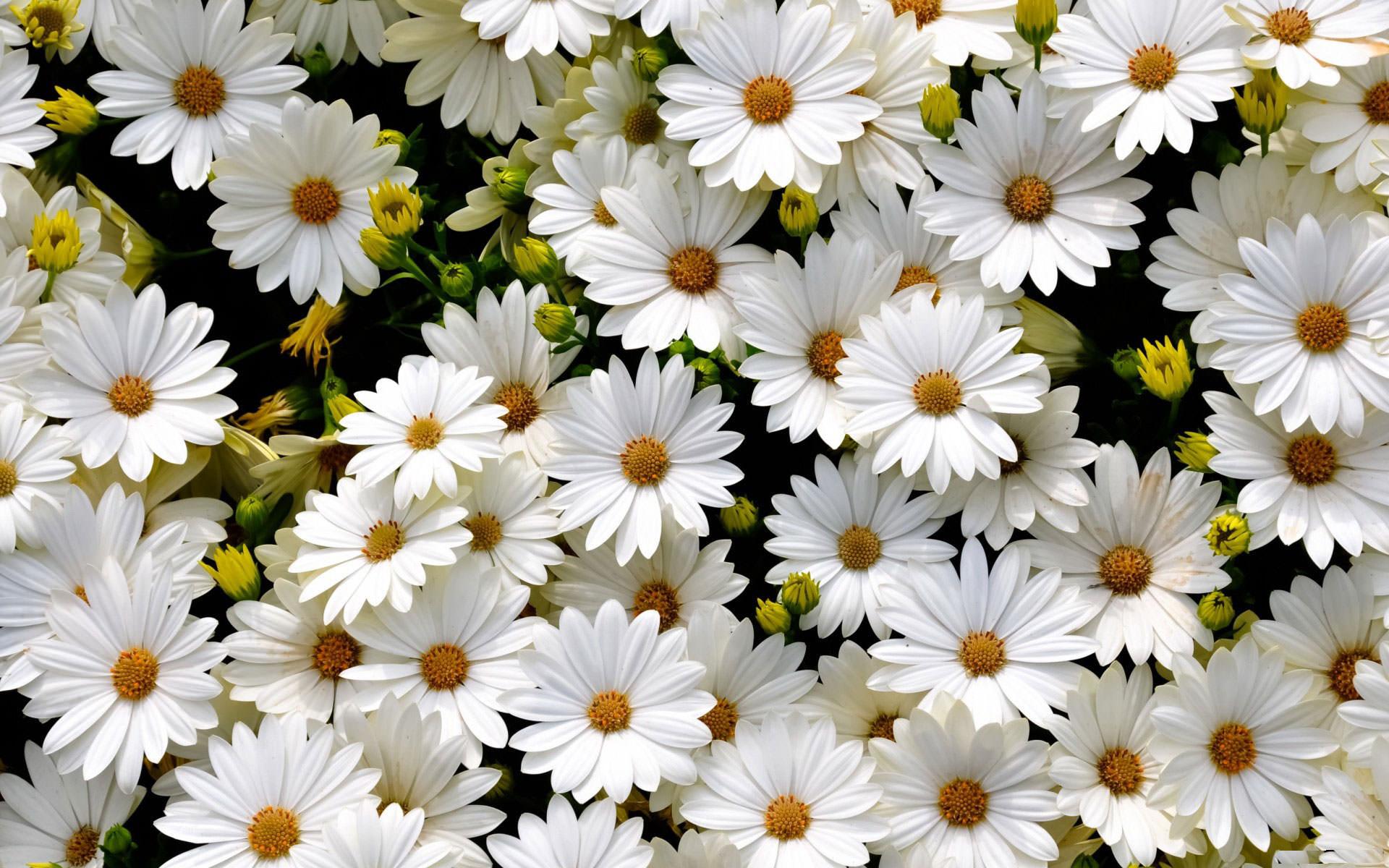 Cúc hoa chữa viêm kết mạc