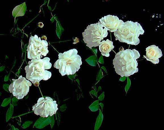 Hoa hồng trắng trị bệnh gan