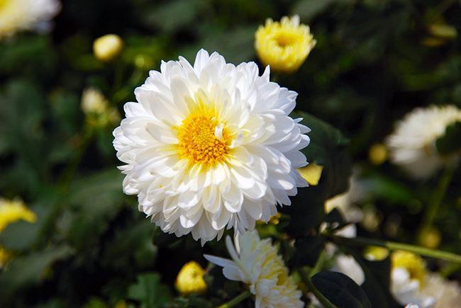 Cúc hoa, bài thuốc chữa đau người