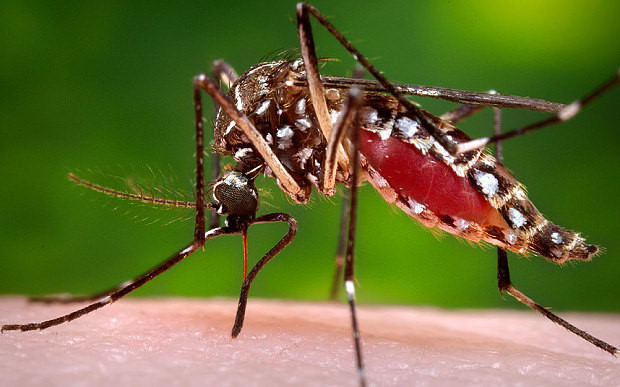 Muỗi Aedes truyền sốt xuất huyết