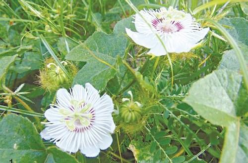 Tác dụng chữa bệnh của một số loại hoa